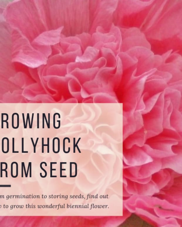 how-to-grow-hollyhock-flowers-from-seed