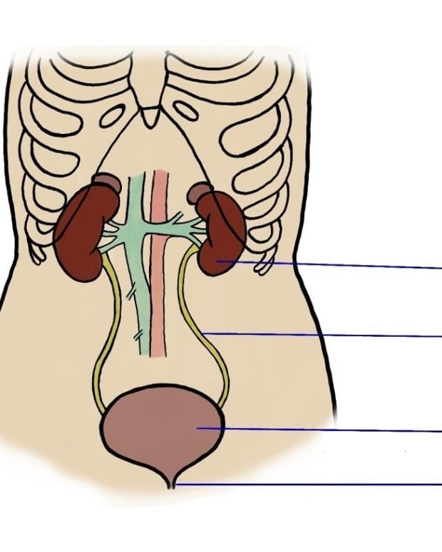 the-urinary-system-how-the-nephron-works-in-urine-formation