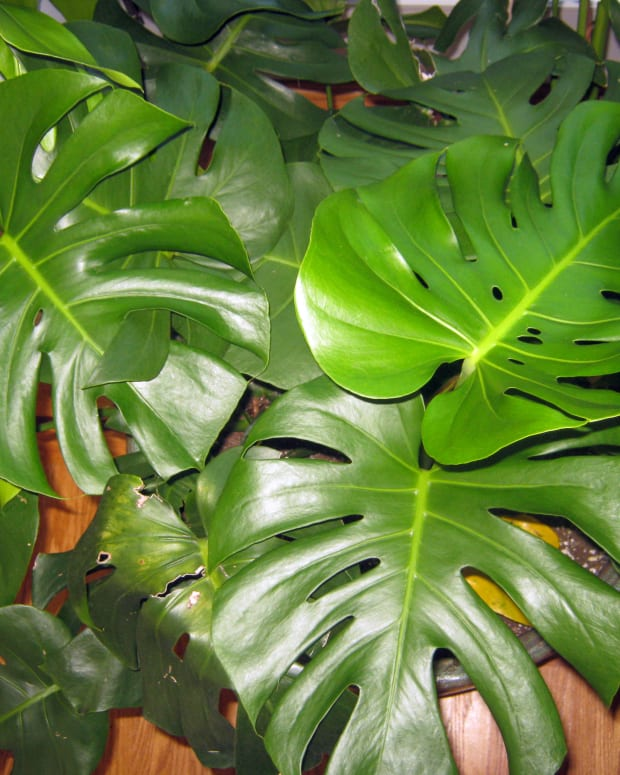 easy-house-plant-swiss-cheese-plant-or-monstera-deliciosa