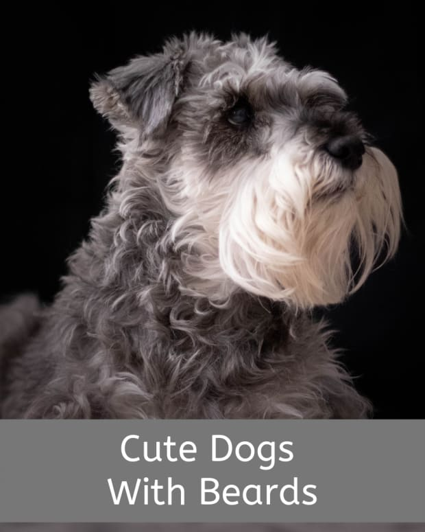 dog-breeds-with-goatees