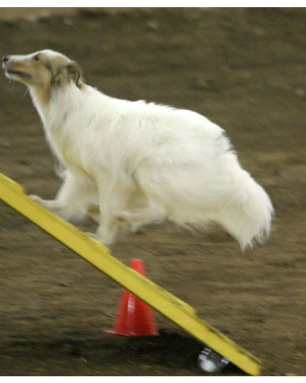 when-is-your-agility-team-ready-to-trial-the-pitfalls-of-competing-too-early-in-dog-agility