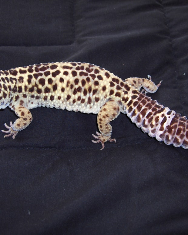 leopard-gecko-shedding-problems