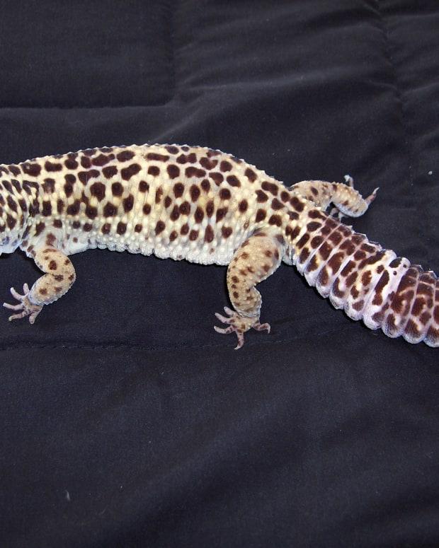 leopard-gecko-shedding-problems