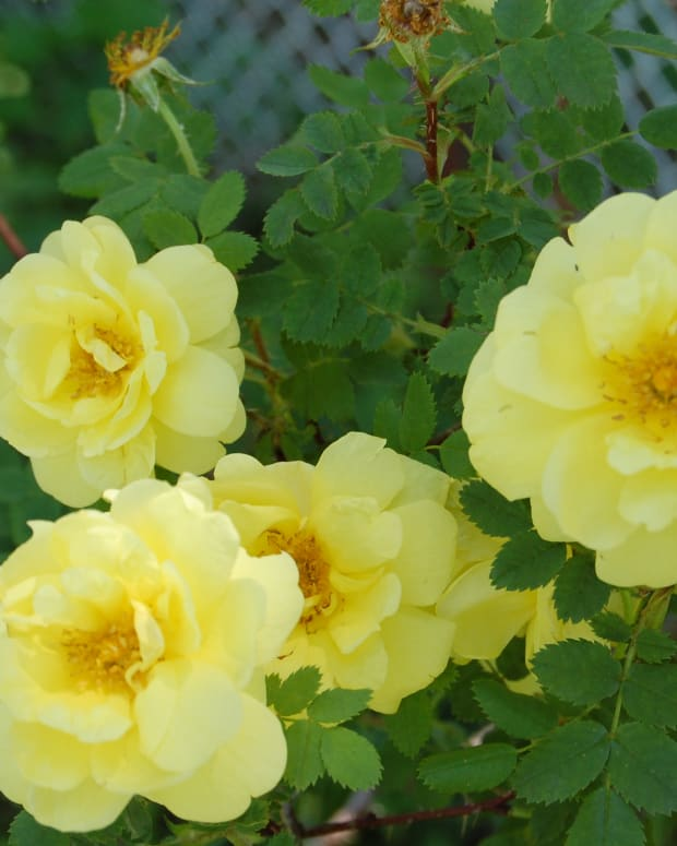 the-yellow-rose-of-texas-isnt-from-texas
