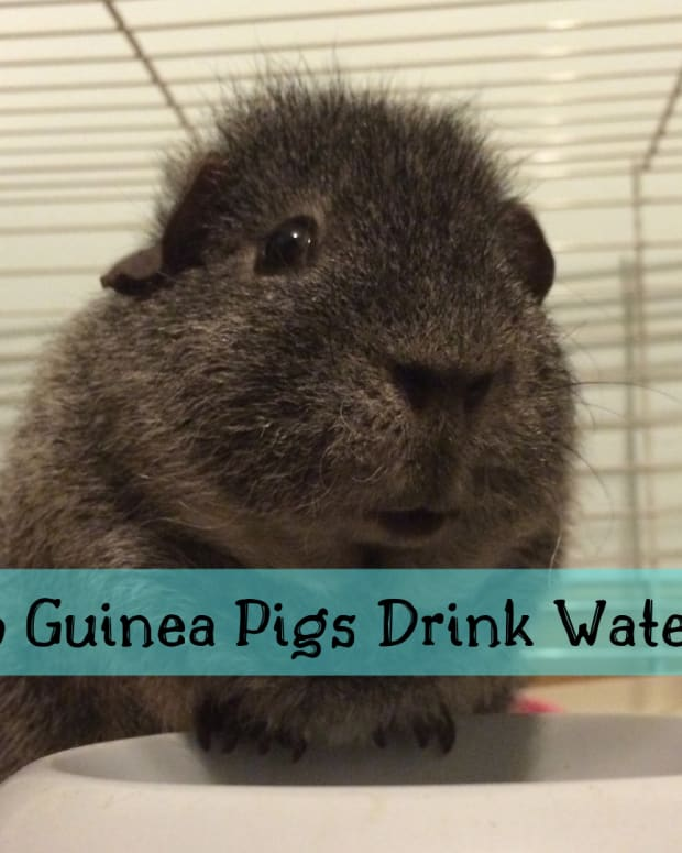 why-isnt-my-guinea-pig-drinking