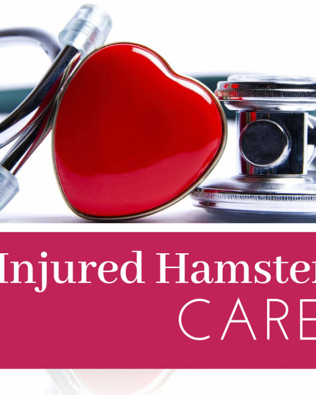 how-to-care-for-an-injured-hamster