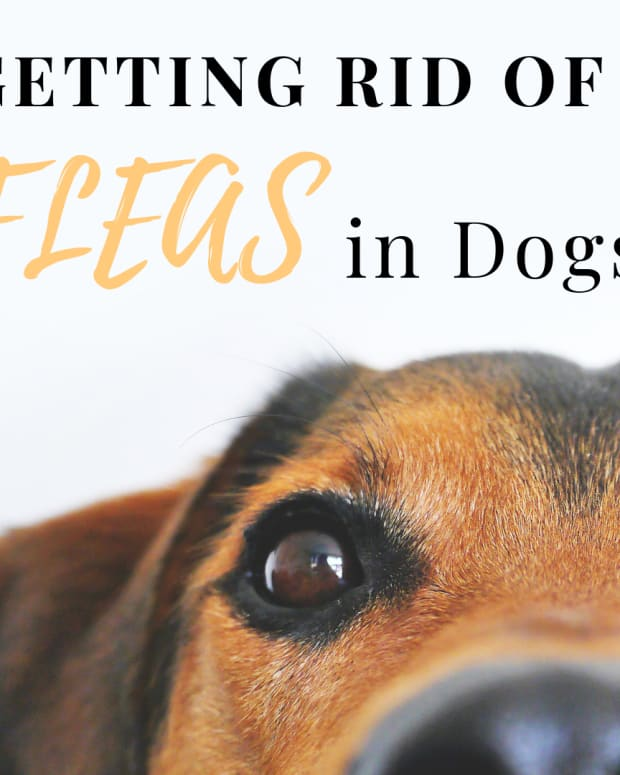 getting-rid-of-fleas-best-flea-treatment