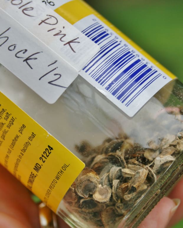 quick-guide-to-collecting-storing-hollyhock-seeds