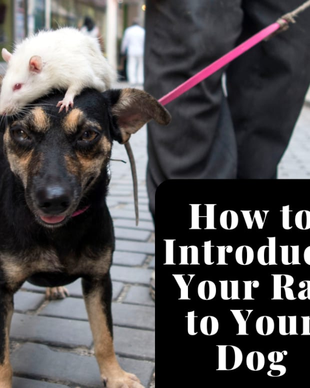 how-to-protect-your-pet-rat-from-dogs