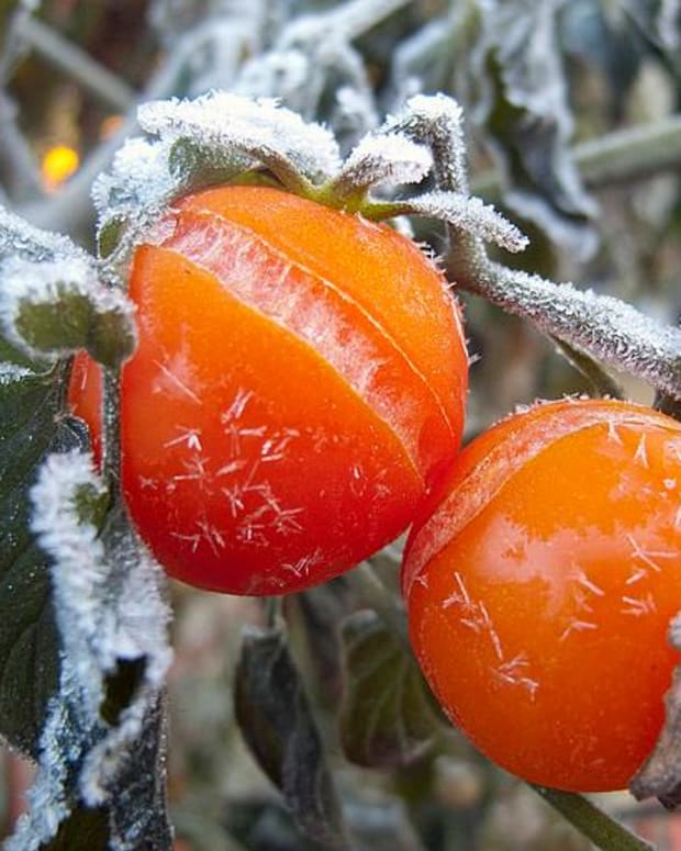 how-to-protect-tomatoes-peppers-and-eggplant-from-frost