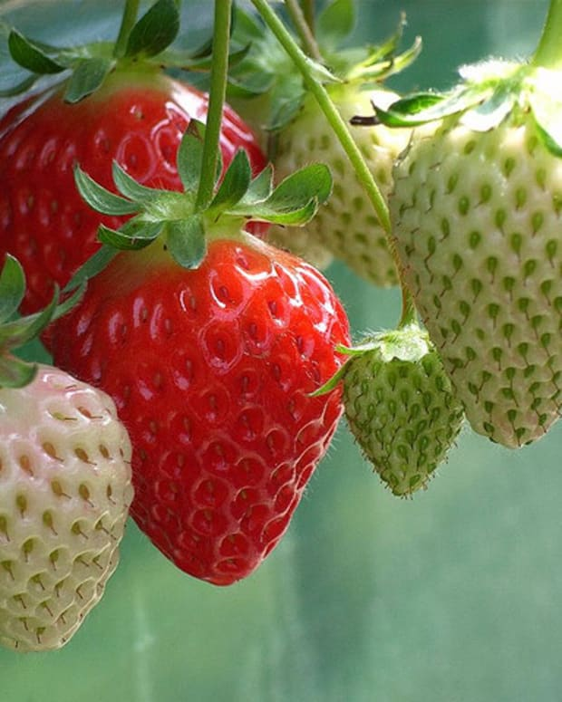 growing-strawberry-plants-in-pots-and-with-space-limitations