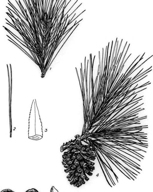 selecting-and-using-pine-needles-for-basket-making