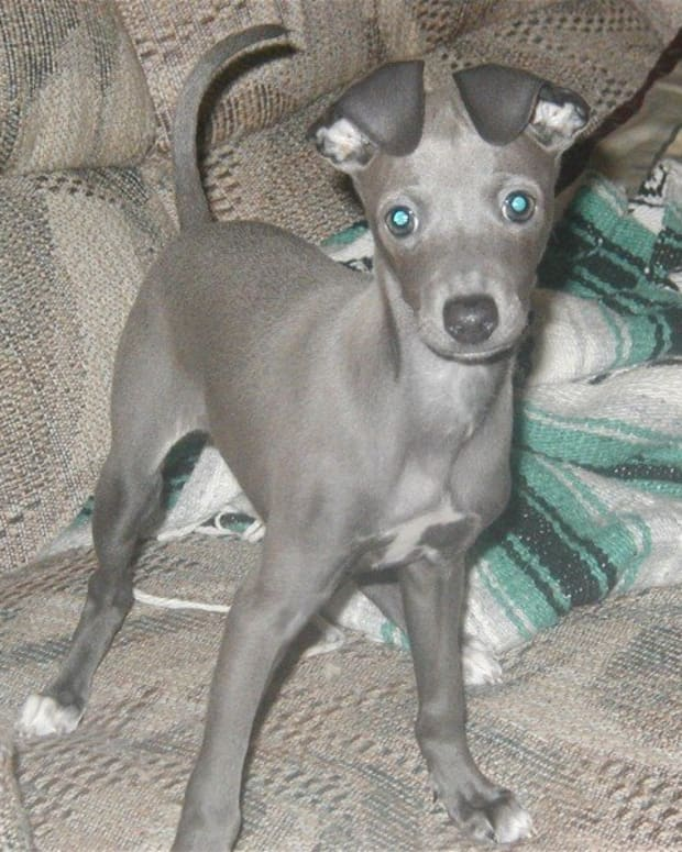 the-love-of-an-italian-greyhound