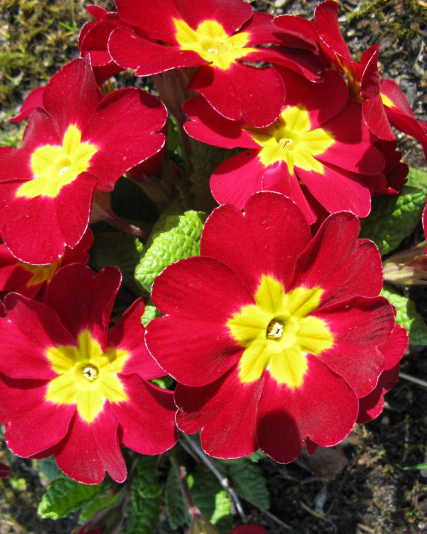 primulas-and-primroses-beautiful-spring-flowers