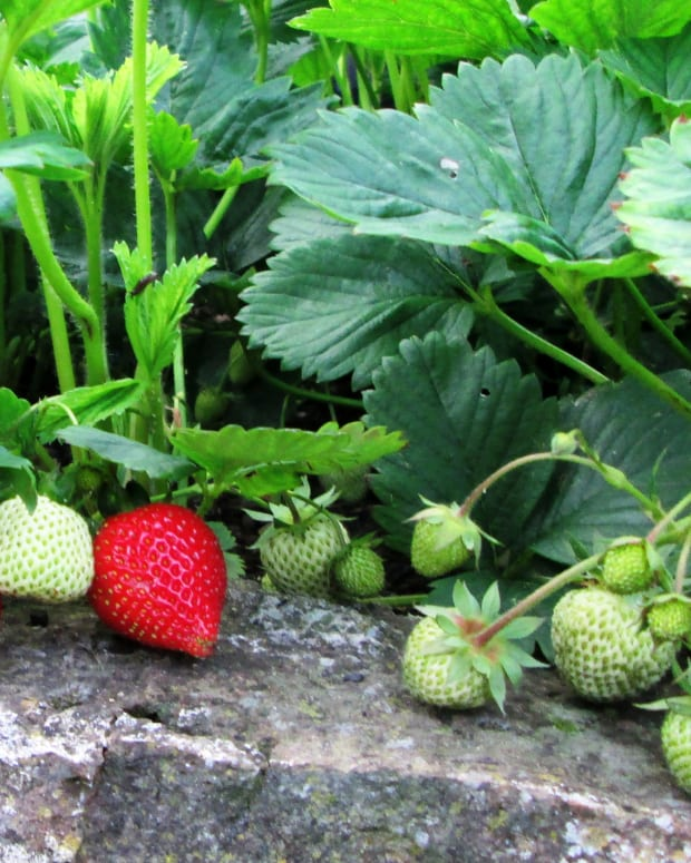 how-to-grow-strawberries-in-a-small-garden-plant-strawberry-planting-growing-gardening-plants-containers-pots-when
