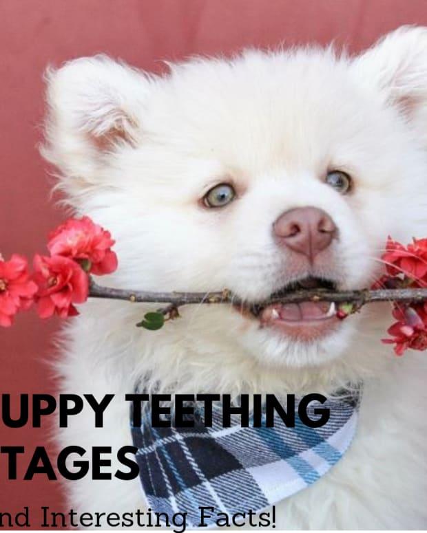 understanding-puppy-teeth-stages