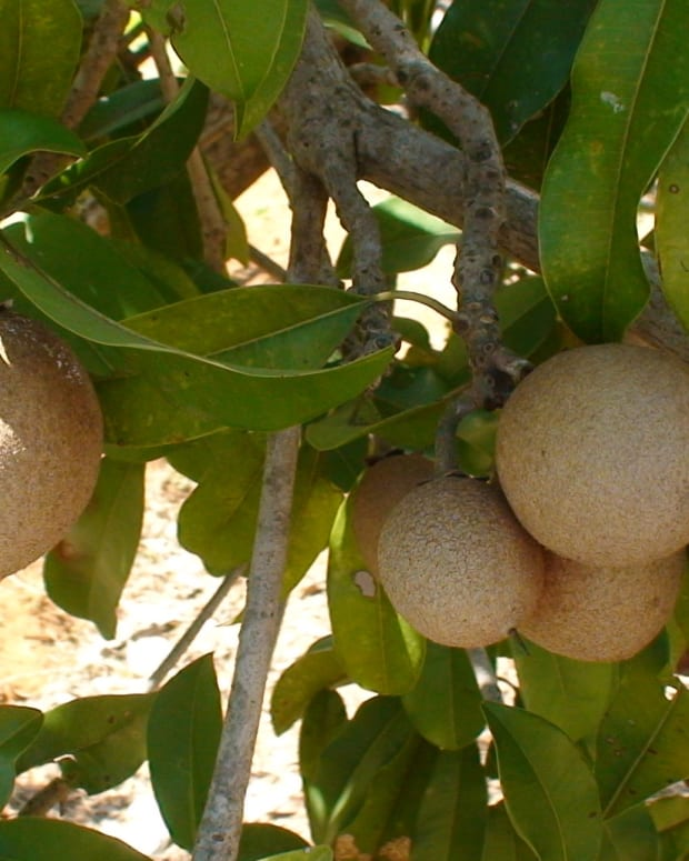 the-health-benefits-of-chikoo-chickoo-or-sapodilla-fruit