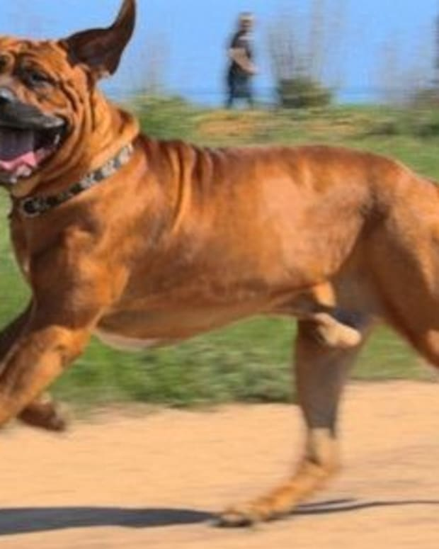 five-commonly-banned-dog-breeds