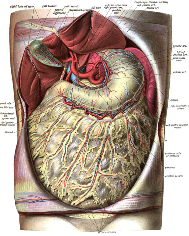 the-omentum-and-abdominal-fat