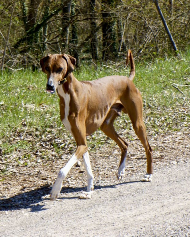 five-best-dog-breeds-from-africa
