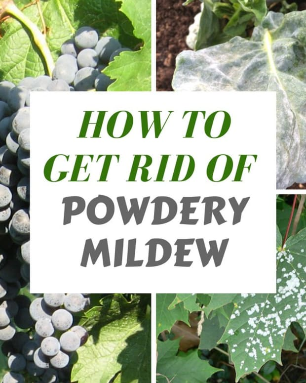 organic-methods-of-exterminating-powdery-mildew