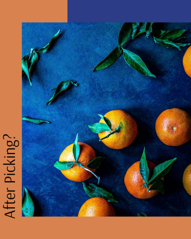 do-clementines-ripen-after-picking