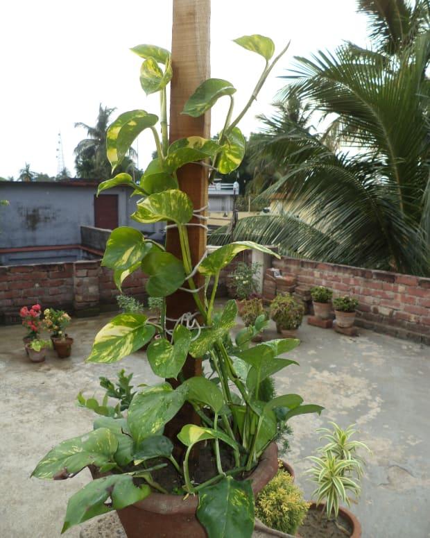 growing-pothos-money-plant-in-a-decorative-way