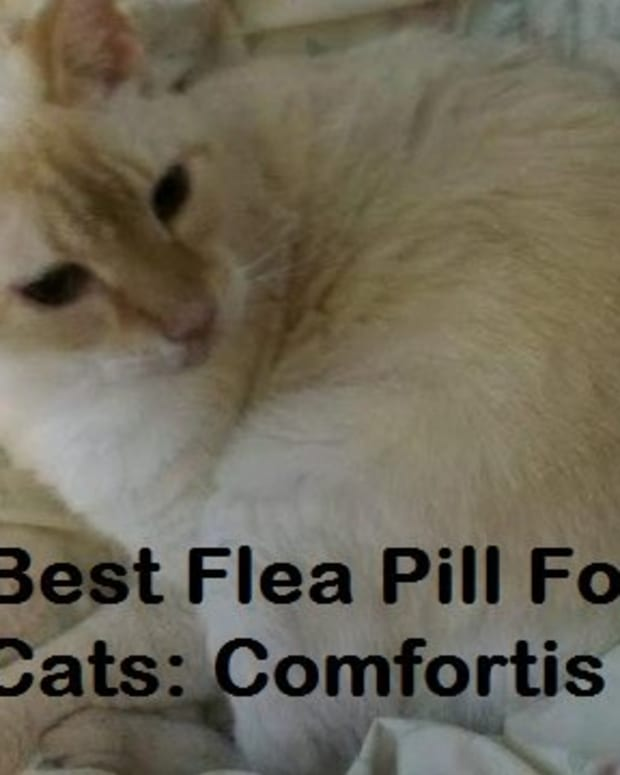 giving-a-cat-comfortis-flea-pills