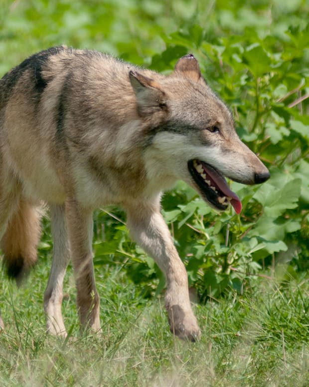 tips-on-surviving-a-wolf-attack
