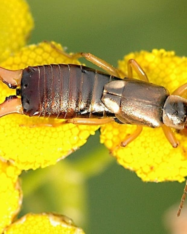 earwigs-facts-myths-and-natural-pest-control