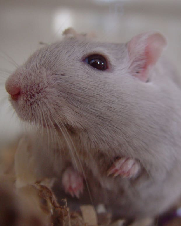 how-to-get-your-parents-to-allow-you-to-have-a-pet-gerbil