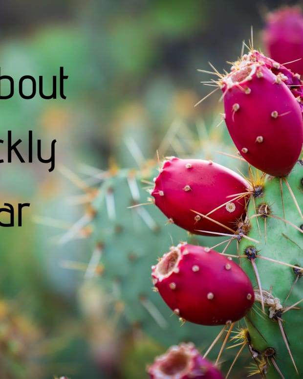 how-to-prepare-and-eat-prickly-pear-cactus