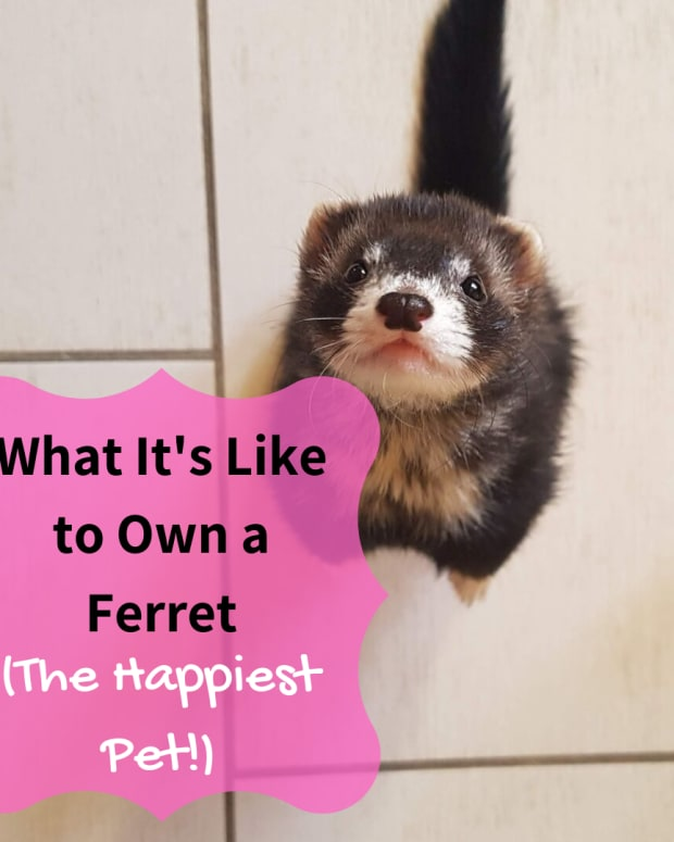 ferrets-the-happiest-pet