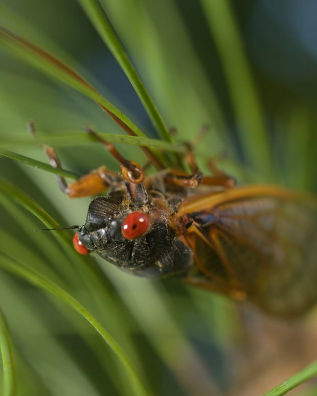 interesting-facts-about-cicadas