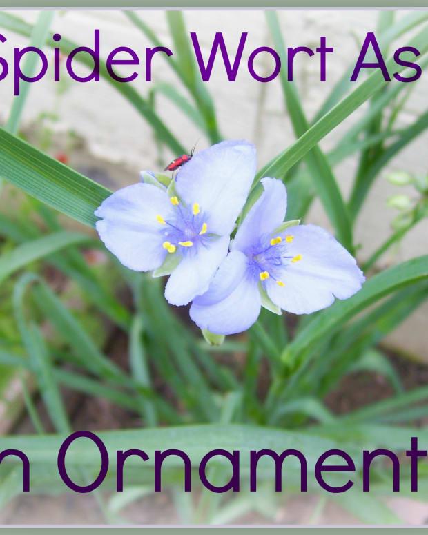 using-common-spiderwort-as-an-ornamental-garden-plant