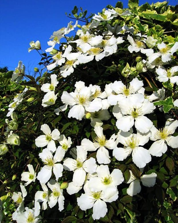 how-to-grow-and-care-for-clematis