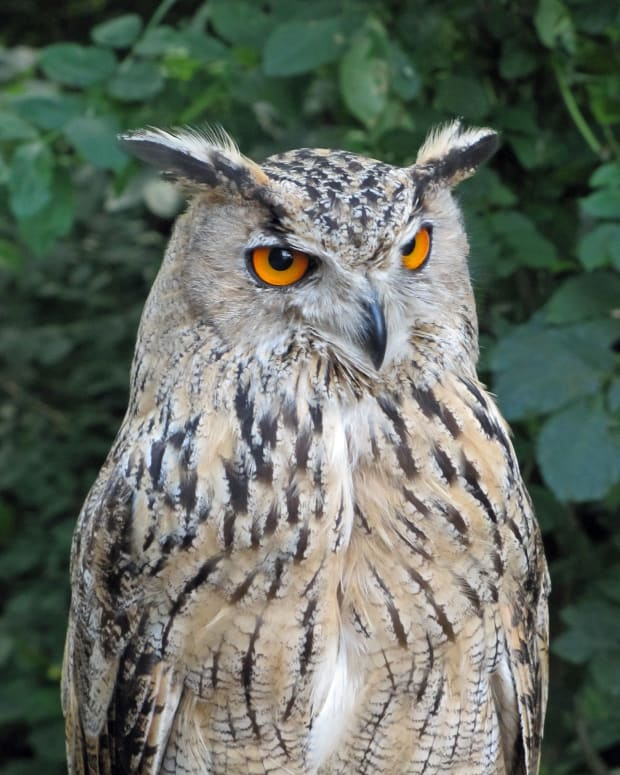 birds-of-prey-the-eurasian-eagle-owl
