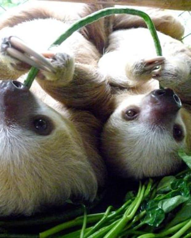 pet-sloth-care