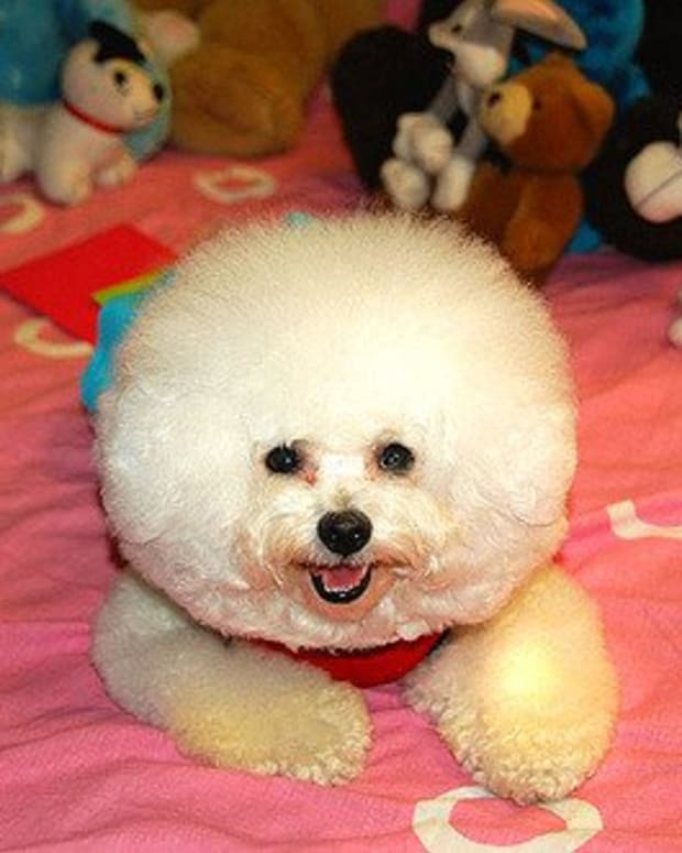 five-small-fluffy-dog-breeds