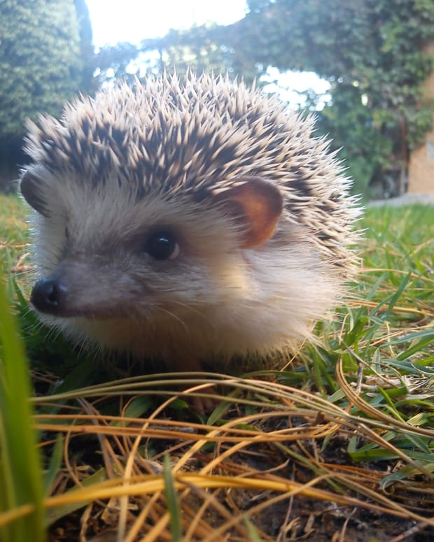 how-to-be-a-good-owner-of-a-headgehog