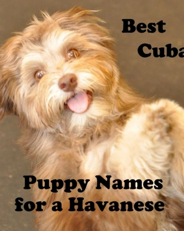 best-names-for-a-havanese-puppy