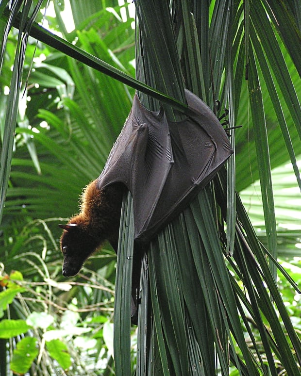 flying-foxes-of-asia-fascinating-bats