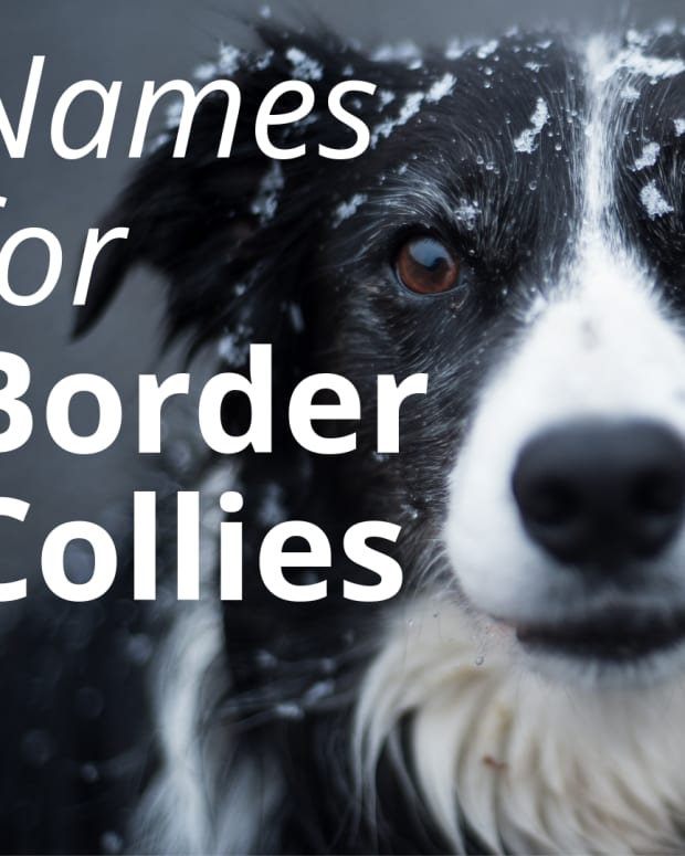 best-names-for-a-border-collie