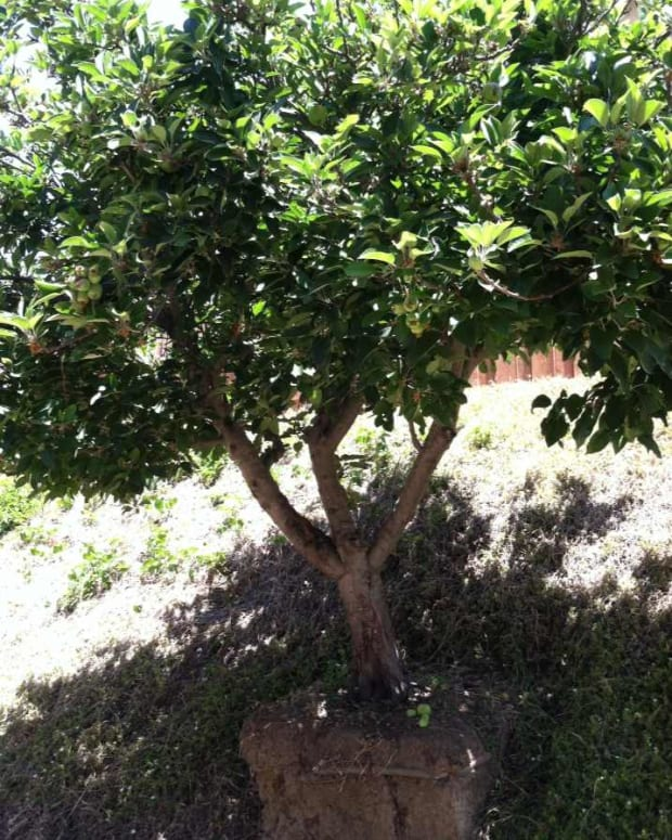 thinning-fruit-on-an-apple-tree