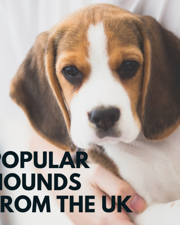 best-five-hounds-dogs-from-uk