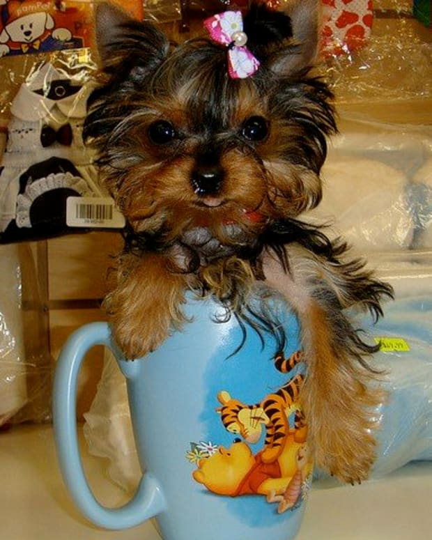 cool-dog-names-for-a-yorkie