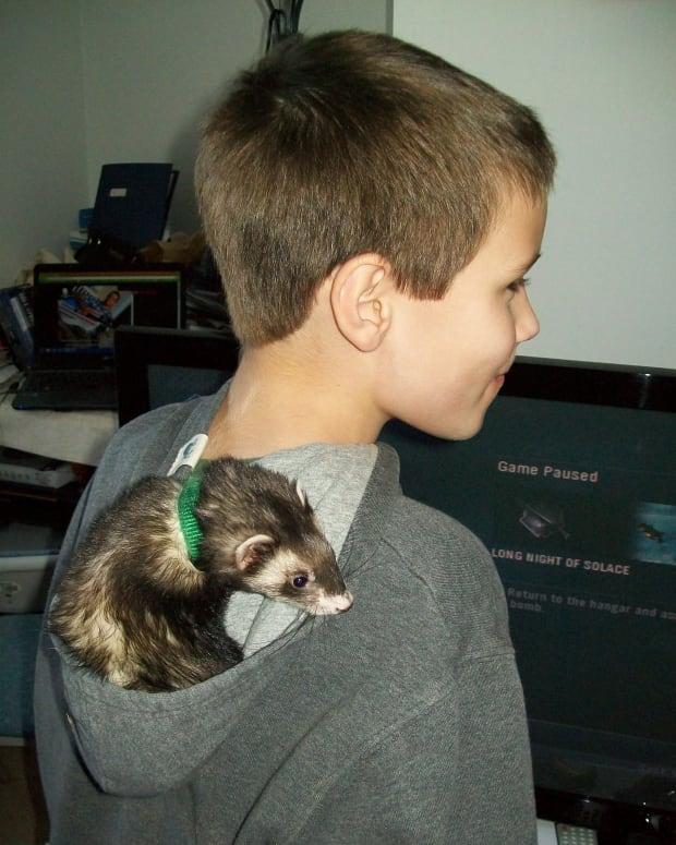 are-ferrets-hypoallergenic