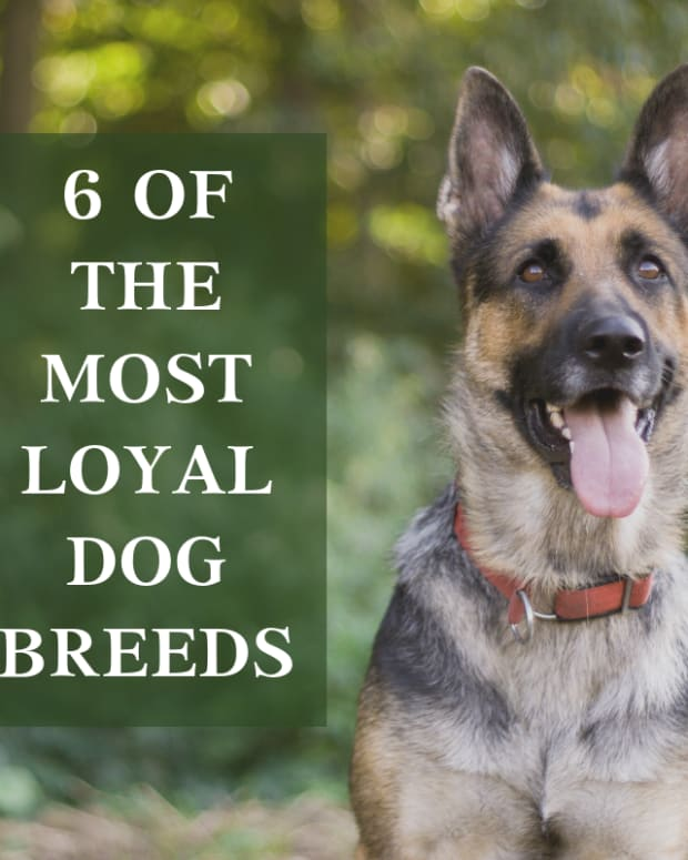 most-loyal-dog-breeds