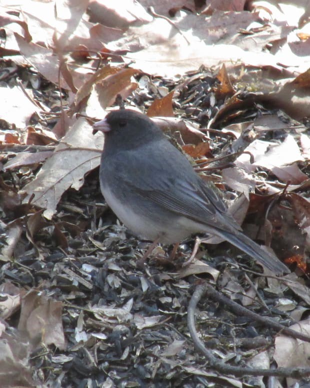 the-juncos-i-have-come-to-know