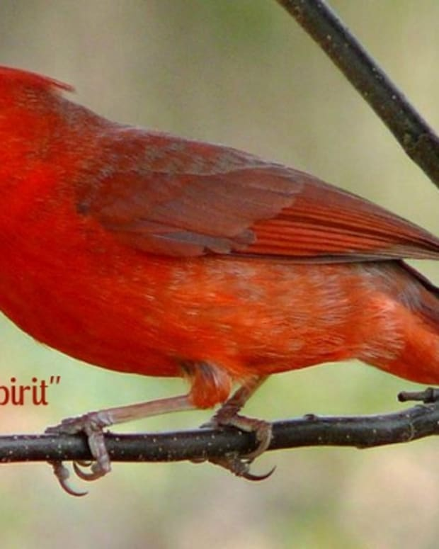 spirit-visits-from-loved-ones-cardinal-spirit-poem